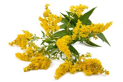 Canadian Goldenrod (Flowering Tops)
