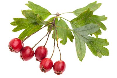 Hawthorn (Berry, Leaf, Flower)