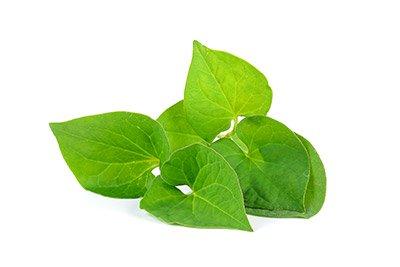 Houttuynia (Herb)