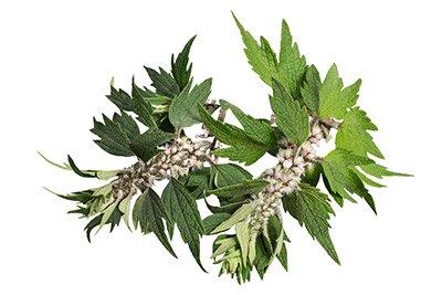 Motherwort (Herb)