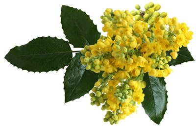 Oregon Grape (Root) Ext 4:1