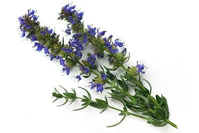 Hyssop (Herb)