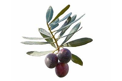 Olive (Leaf)