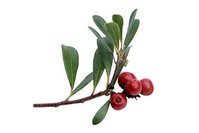 Uva Ursi (Leaf)